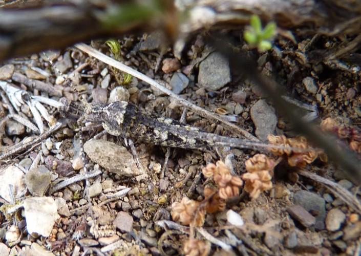 Catamachilis franzi 15354673960_b139d60490_o