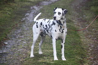 Harry the Dalmation.