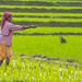 Rice Harvester by Salim Abdulla