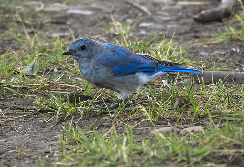 Mountain Bluebird at Mormon Row 400 (63)