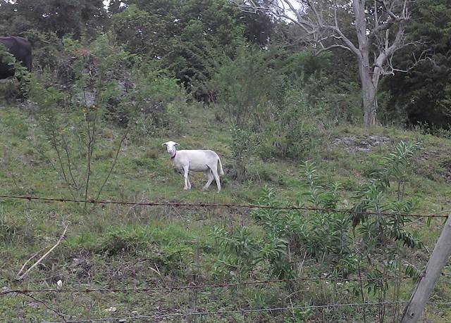 Cute goat!
