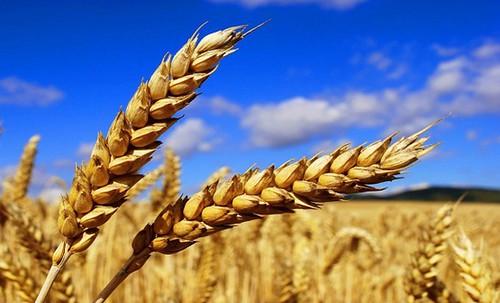 Пшениця колоски