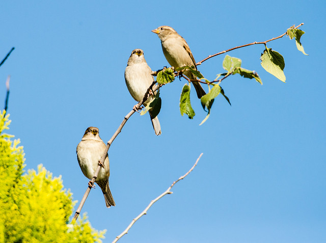 3 Sparrows on a Branch