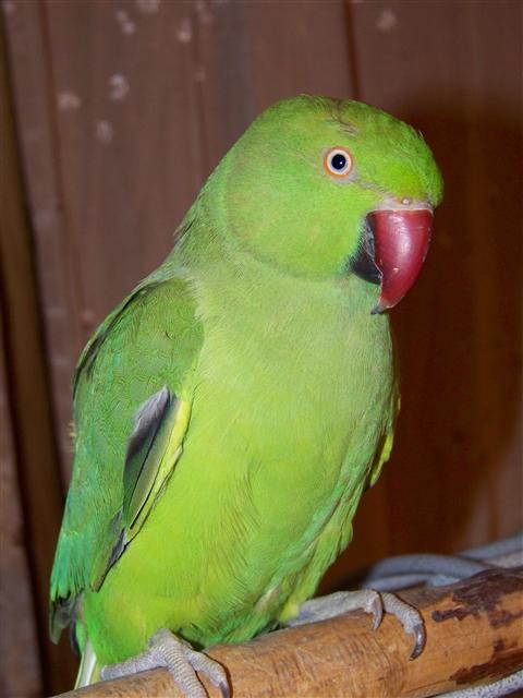 Indian Ringneck Parrot For Sale Sacramento ...