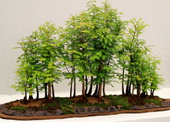 evergreen, shrub, branch, tree, plant, sageretia theezans, houseplant, bonsai,