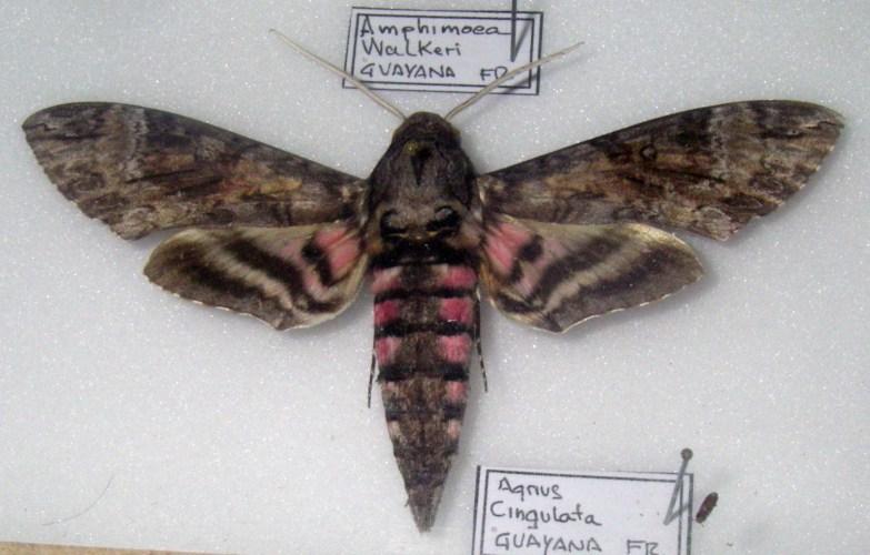 Agrius cingulata 15434636035_f41c791779_o