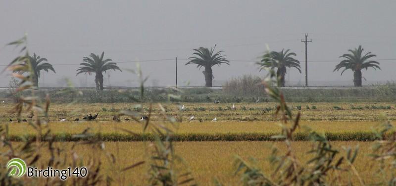 Birds in the rice fields of the Ebro delta