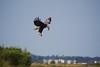 Bald Eagle Hovering