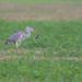 Grey Heron (Ardea cinerea) Szürke gém