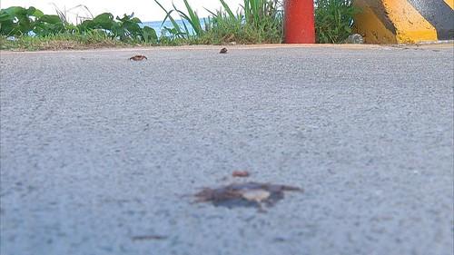 被車輛輾過的母蟹