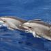 Bottlenose Dolphins © Tom Mabbett