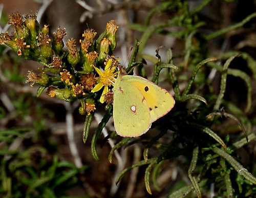Clouded Yellow Colias crocea Sagres, Portugal October 2014