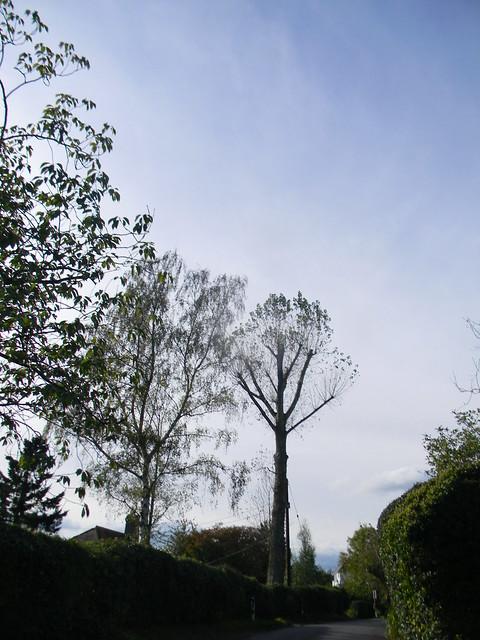 Tall straight tree