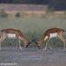 uttampegu posted a photo:Blackbuck mock fighting at Tal Chapar, Rajasthan
