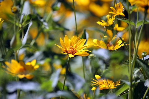 The blooms of the oxeye false sunflower show a blanket of yellow blooms in late summer. USDA photo.