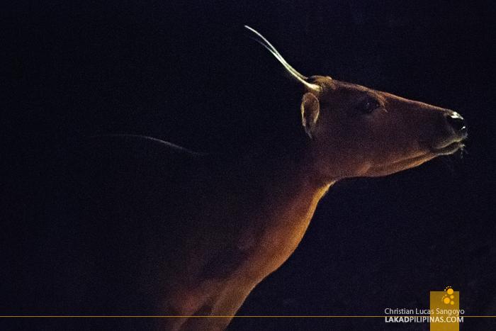 Antelope at the Chiang Mai Night Safari
