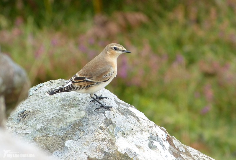 P1090393 - Wheatear, Isle of Mull