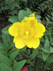 flower, large-flowered evening primrose , yellow, plant, flora, hypericum,