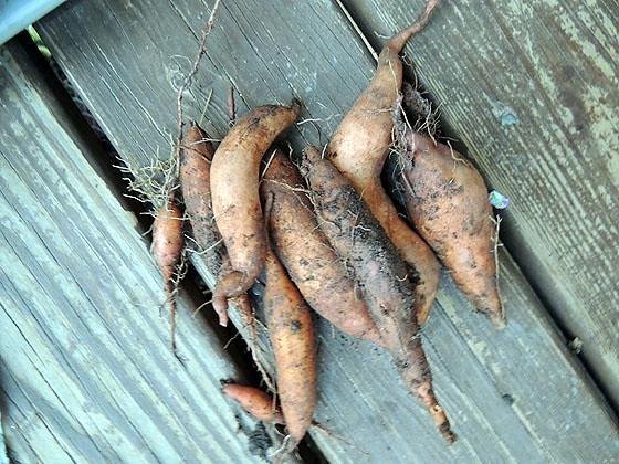 Sweet Potato-21