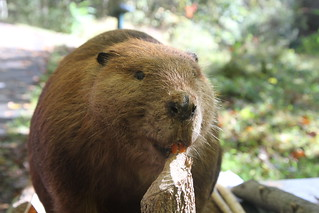 Buster the Beaver