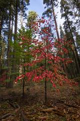 Fall Colors at Calaveras Big Trees