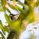[200] Spotted Woodpecker