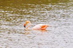 Flamingo, Isabela Island, Galapagos Islands