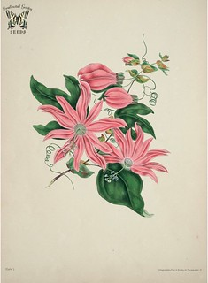 Racemose Passion flower. Passiflora racemosa. The beauties of flora- with botanic and poetic illustrations, being a selection of flowers drawn from nature arranged emblematically: with directions for colouring them Gleadall, Eliza Eve (1834)