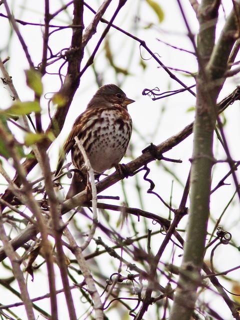 Fox Sparrow 2-20141021