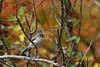 Autumn Titmouse