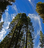 Tall Trees Reaching for the Sky