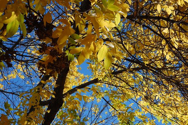 Fall Leaves on Walden Street, Cambridge