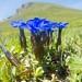 Spring Gentians (Jon Stokes)