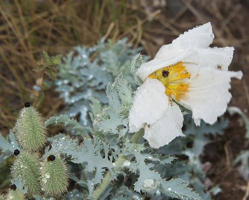 Rough pricklypoppy Argemone hispida_8271