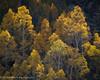 Illuminated Aspens, Bishop Canyon