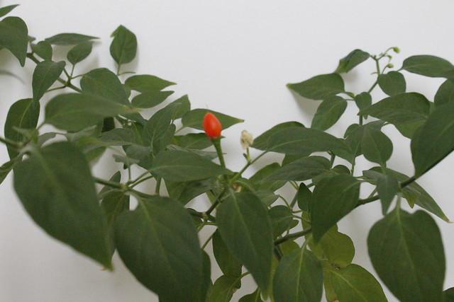 planta cayena