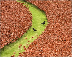 Crows counting poppies at Tower of London