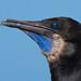 Brandt's Cormorant #3