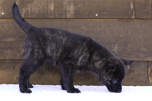 Nori-Litter2-47Days-Puppy4(male)c