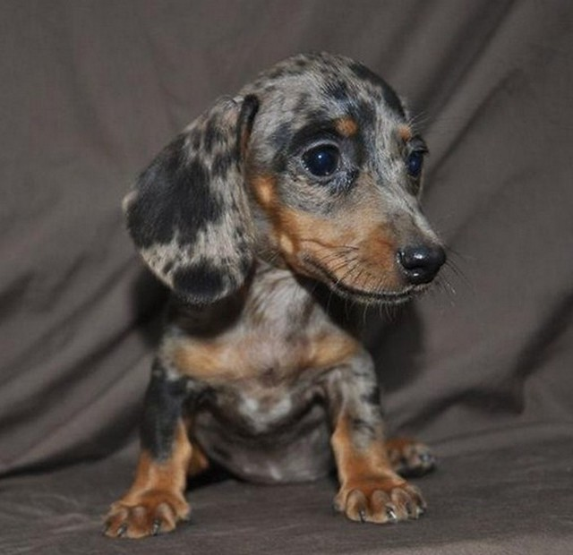 Teacup Dachshund Puppies http://t.co/cEMIOYGtQT http://t ...