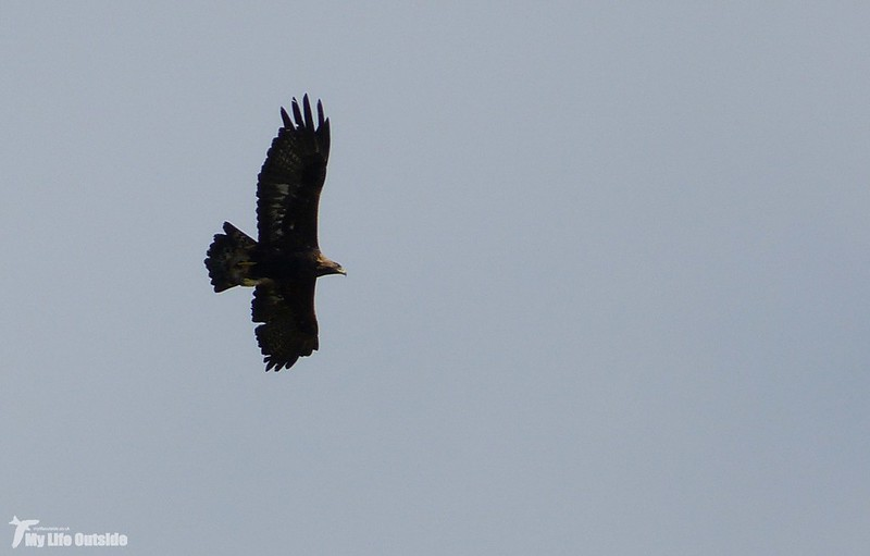 P1090077_2 - Golden Eagle, Isle of Mull