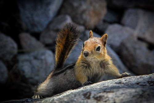 Squirrel! Of the golden mantled ground variety.  He was hoping for handouts at camp.