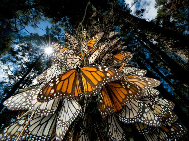 mariposa monarca - diarioecologia.jpg