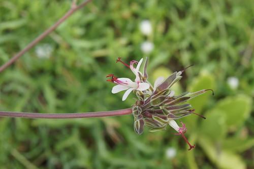 P. parviflorum
