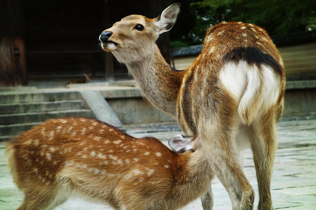 Sika deer, Nara (奈良市, Nara-shi)