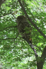 Spotted Owl, Miller Canyon, AZ, 7/26/2014
