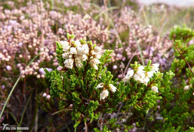 P1090828 - White Heather, Isle of Mull