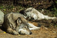 Wolves - Recent Uploads tagged elyminnesota