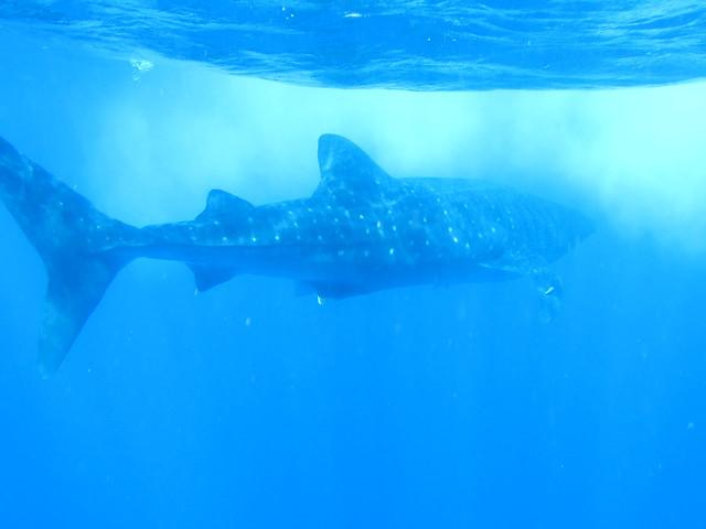 Whale Sharks 112
