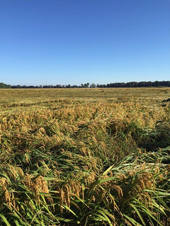 Picture of rice plants that were pushed over by high winds in Jefferson County Arkansas